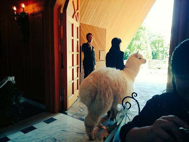 This Wedding Hall Will Loan You An Alpaca To Act As The Witness