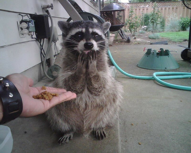 13 Photos That Will Make You Love Raccoons