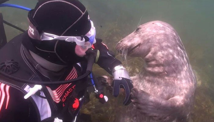 Seal Asks Diver For Belly Rub And Responds Just Like A Puppy