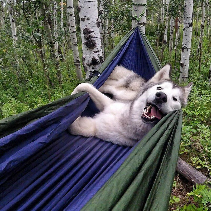 Wolfdog Loki Who Lives The Adventurous Life
