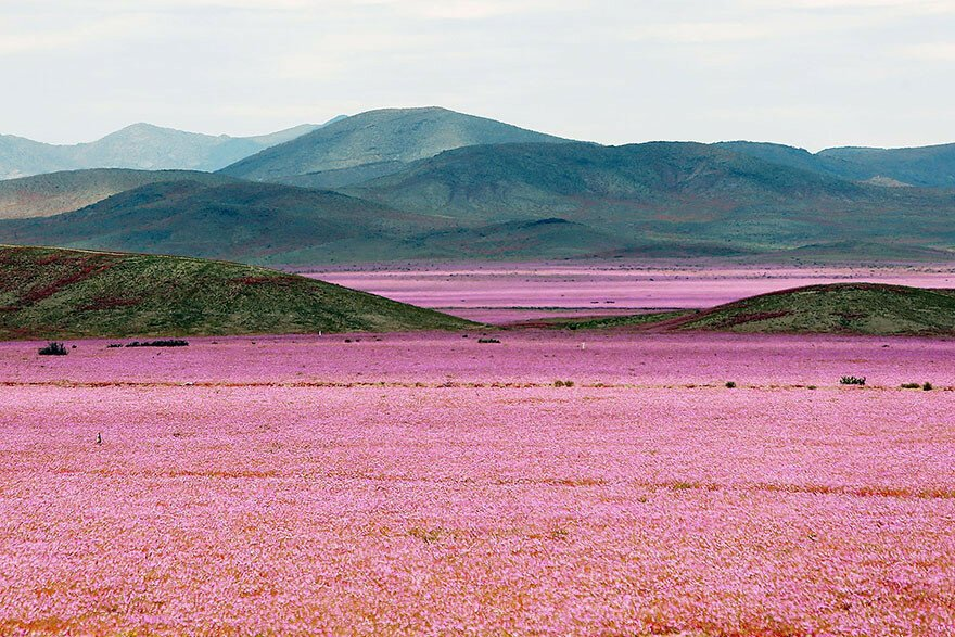 This Is What Happens When Rain Falls On The Earth's Driest Desert