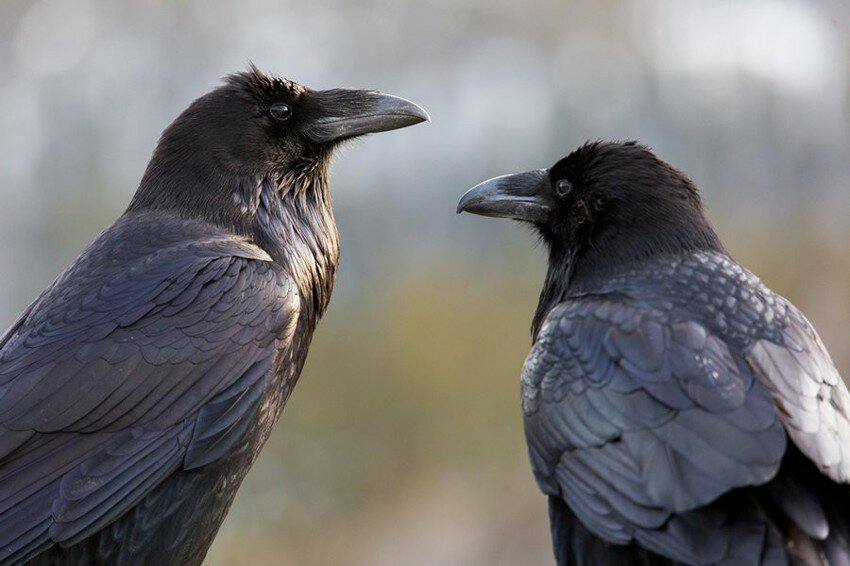 Scientists Test a Crow and Find Out They Are Way Smarter Than We Even Knew