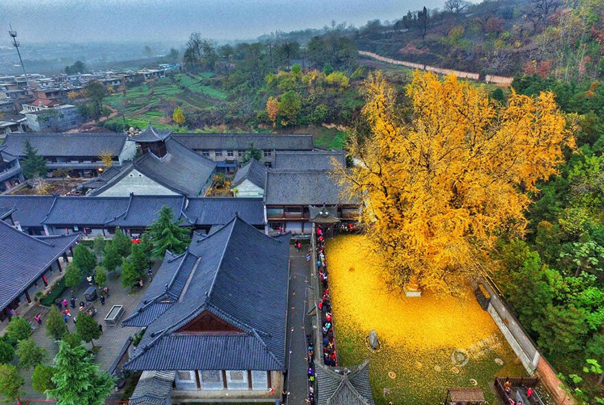 1,400-Year-Old Chinese Ginkgo Tree Drops Leaves That Drown Buddhist Temple