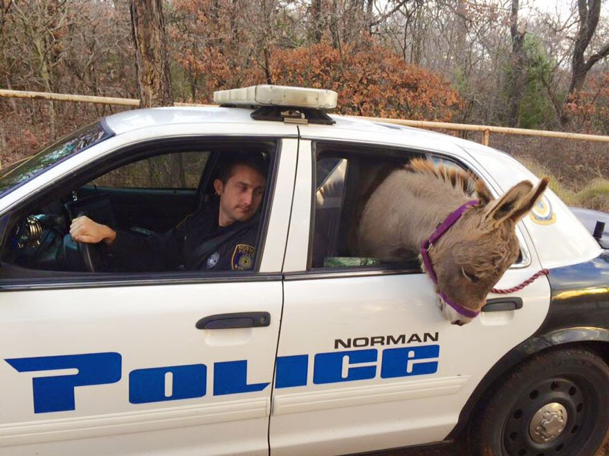 Cop Rescues Donkey From Getting Hit By Traffic