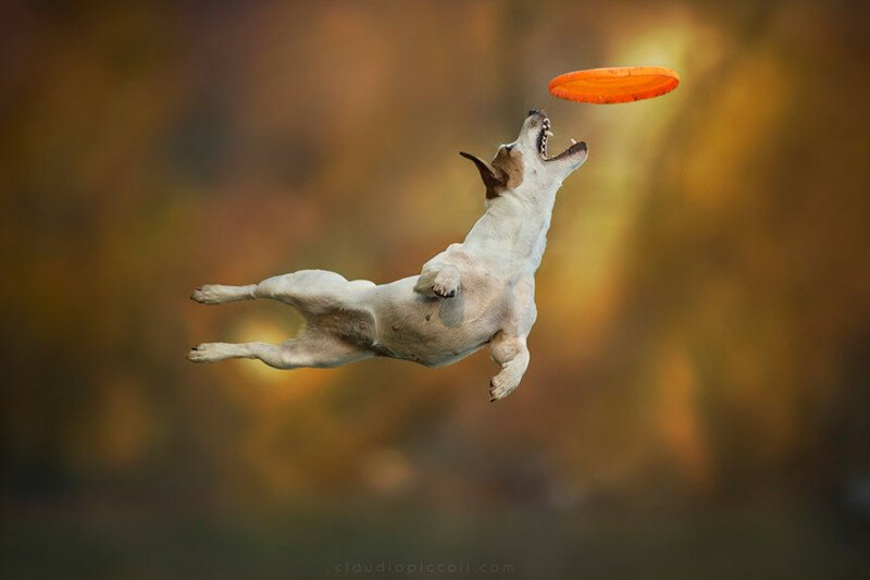 Dogs Can Fly In Funny Photo Series By Claudio Piccoli