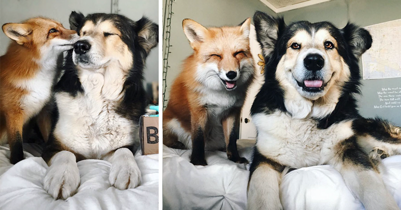 Pet Fox Becomes Best Friends With A Dog