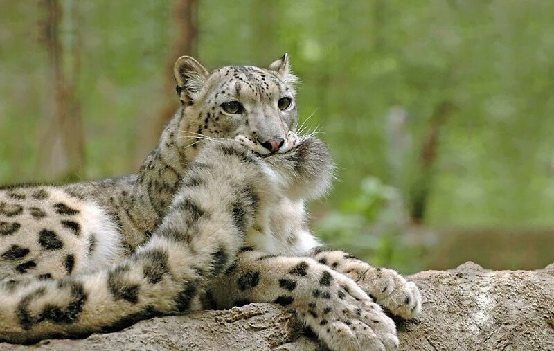 Snow Leopards Love Nomming On Their Fluffy Tails