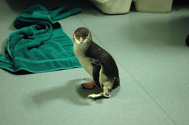 A Penguin Called Bagpipes Got A New Foot And Is So Damn Happy About It