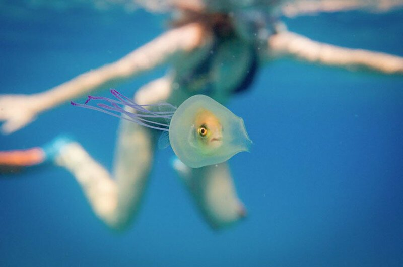 Fish Trapped Inside A Jellyfish Captured In A One In A Million Shot