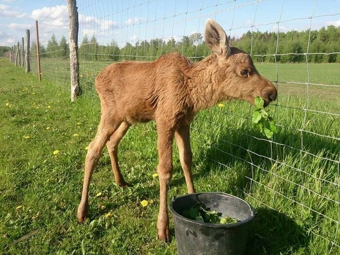 Guy Rescues A Baby Moose, And Now It Visits Him Every Day