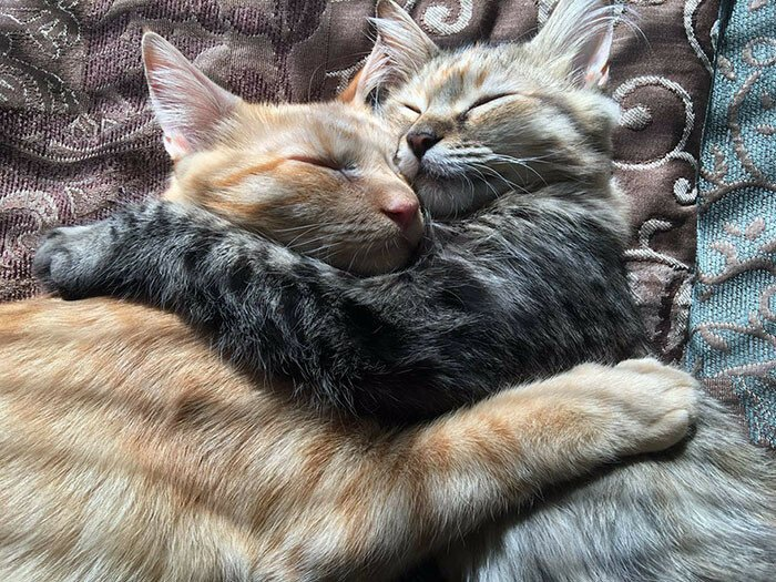 These Two Kittens Are So In Love, They Cannot Hold Their Feelings Anymore