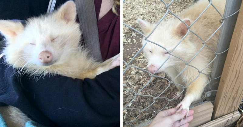 "Woman Rescues ""Aggressive"" Albino Raccoon From Horrible Conditions, And Now She Won't Stop Cuddling"