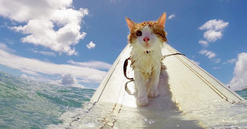 Stunning One-Eyed Cat Who Loves Swimming And Surfing In Hawaii