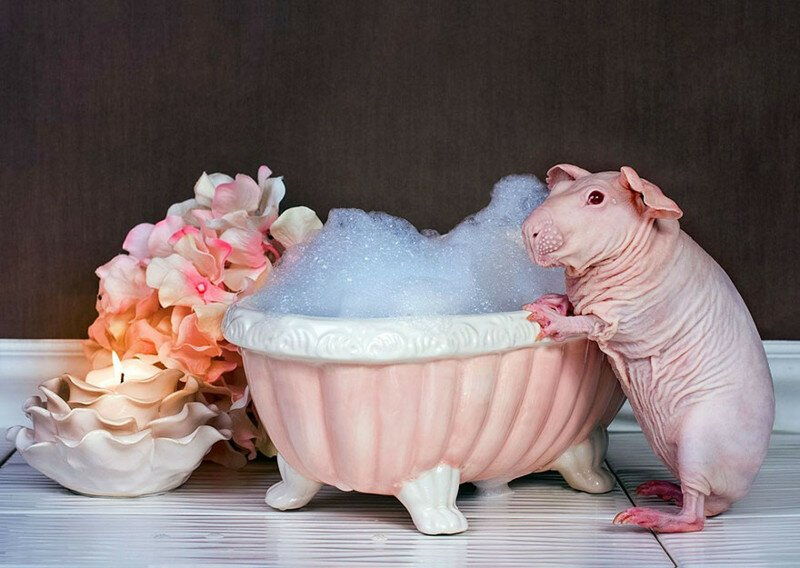 Guinea Pig Poses Totally Nude In Bath Leaving Nothing To The Imagination
