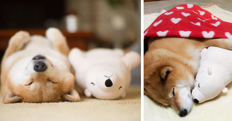 Shiba Inu Keeps Falling Asleep In Same Position As His Favorite Plush Toy