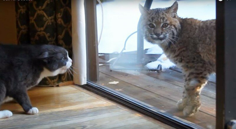 Chill Bobcat Just Doesn't Get Why House Cat Is So Angry