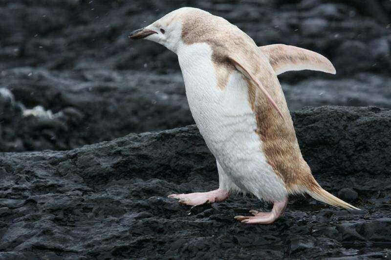 People Just Spotted A Blonde Penguin In Antarctica And Yes, He Has More Fun