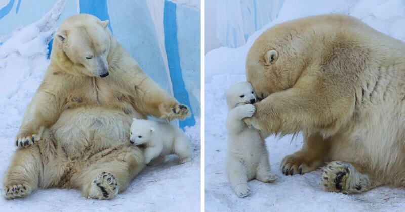 Loving Polar Bear Mama Playing With Her Baby In Snow For The First Time