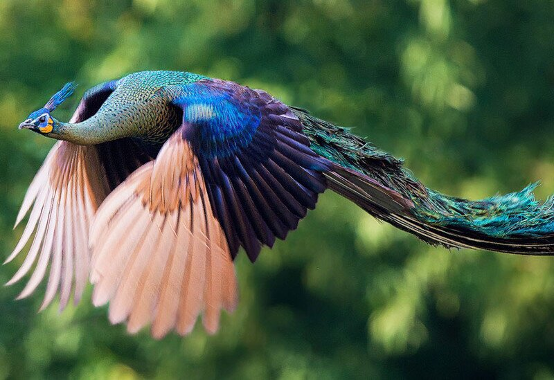 How Peacocks Look In Mid-Flight