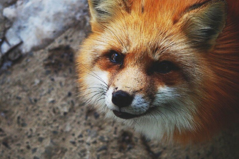 I Visited The Fox Village In Japan, The Fluffiest Place On Earth