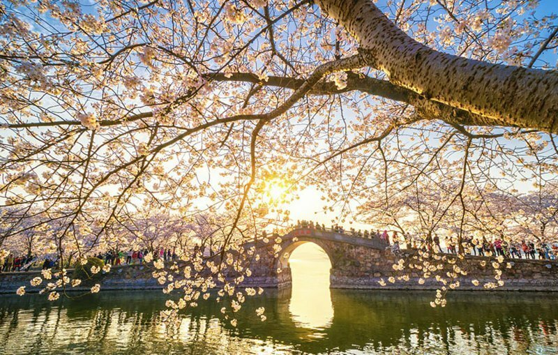Cherry Blossoms Have Just Bloomed In China, And It's Probably One Of The Most Amazing Sights On The
