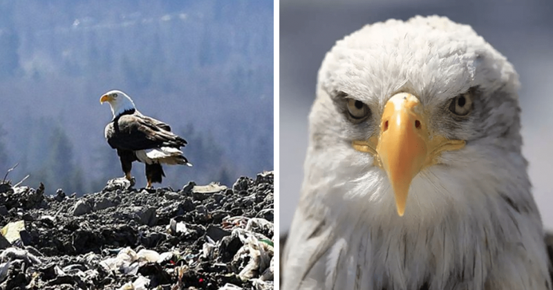 Eagles In Seattle Start Picking Up Litter From Landfills And Dumping Them Into People's Backyards
