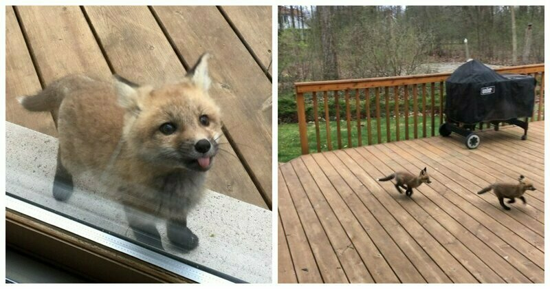 Baby Foxes Show Up At Person's House And Their Pics Are Adorable