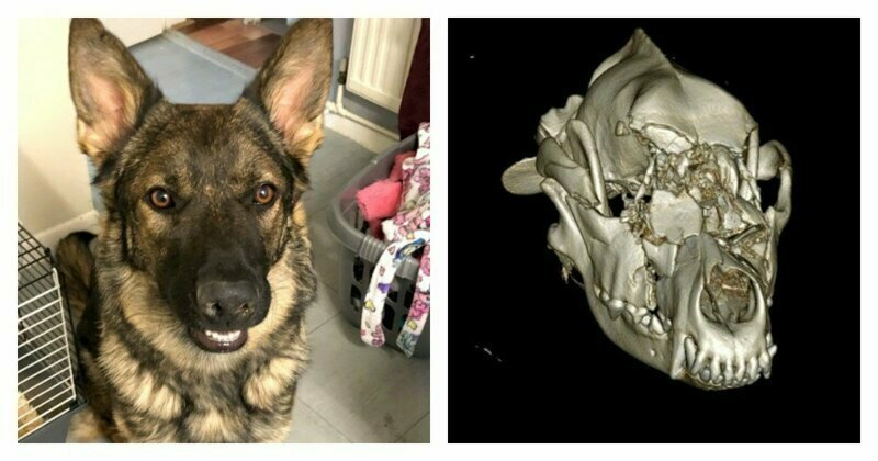 Brave dog gets £6k bionic face in high-tech op after her skull was shattered in motorbike accident