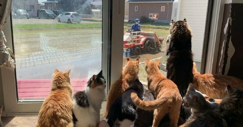 Japanese Cats Love Nothing More In The World Than Watching Farmer Next Door Plant His Rice