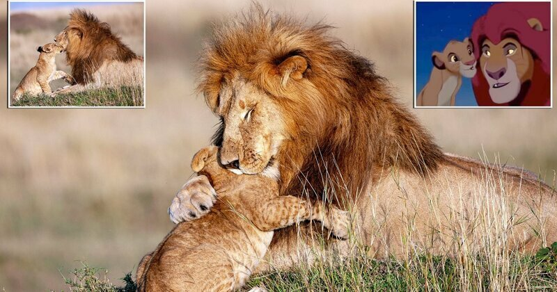 Real life Mufasa and Simba: Cub gives his father a hug in scene reminiscent of Lion King