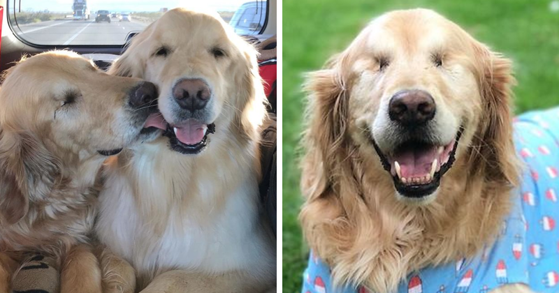 Blind Golden Retriever Is Living A Happy Life Thanks To His Best Pup Friend