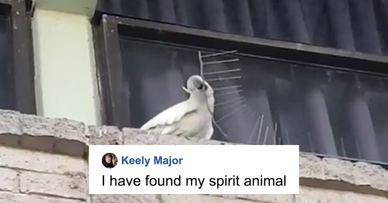 Angry Cockatoo Tears Down Anti-Bird Spikes And Throws Them To The Ground