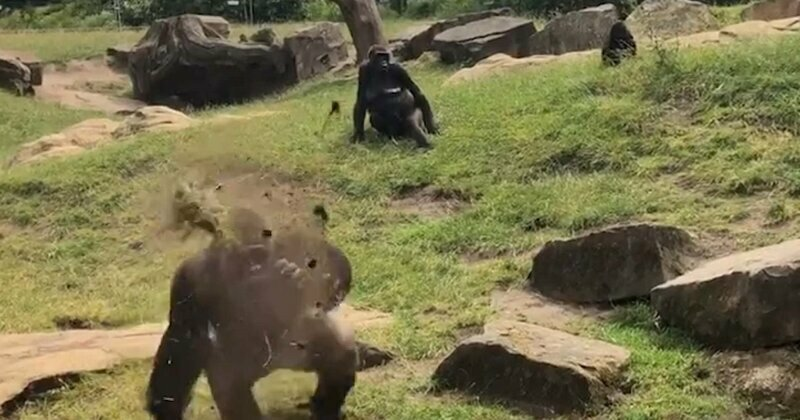 Angry silverback throws fistful of mud at tourists in German zoo