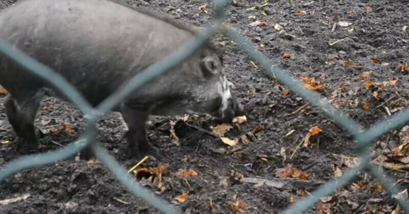 Pigs are observed using tools for the first time