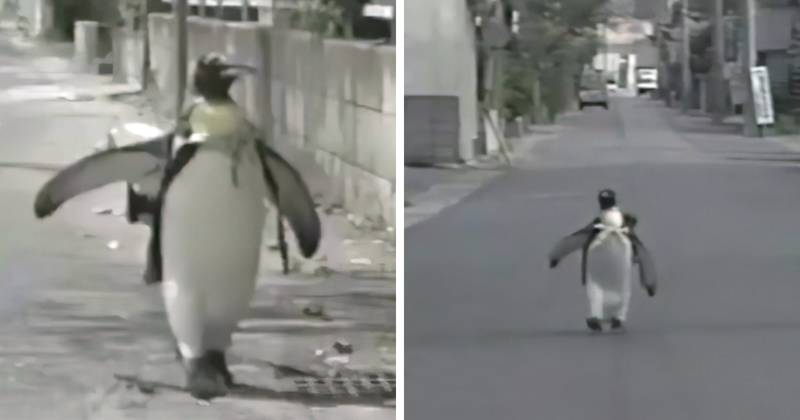 This Rescued King Penguin Loved Going To The Fish Market So Much
