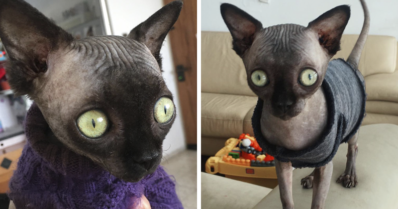 Sphynx Kitty With Rare Neurological Condition Looks Like A Bat