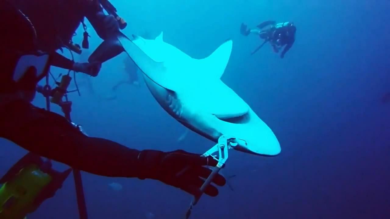 Любители поплавать с акулами