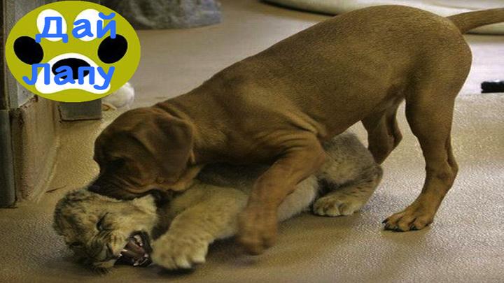 Как уживаются котята со щенками