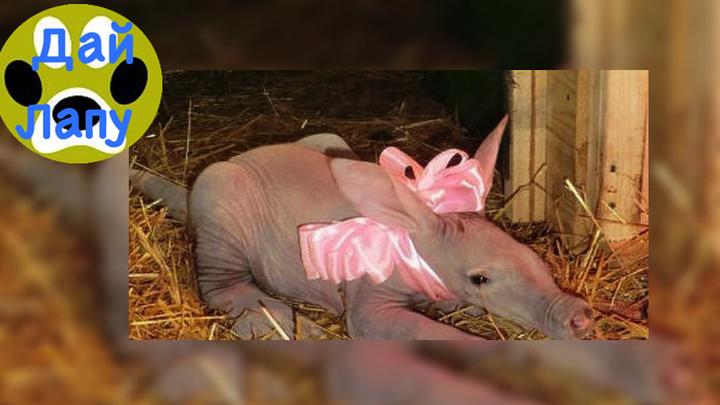 В зоопарке России родился 1-ый трубкозуб. Дай Лапу