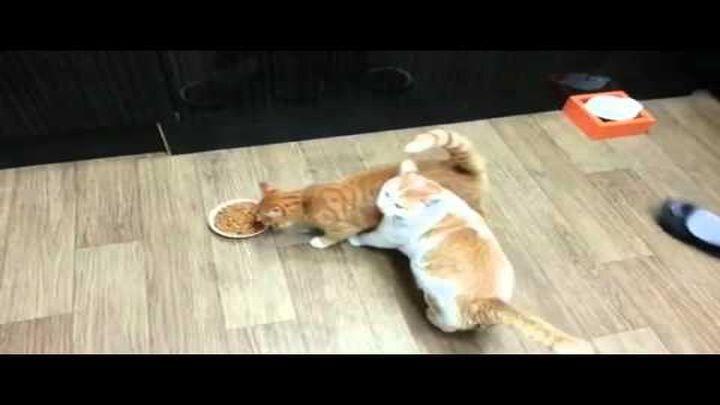 Жадный кот не хочет делиться едой