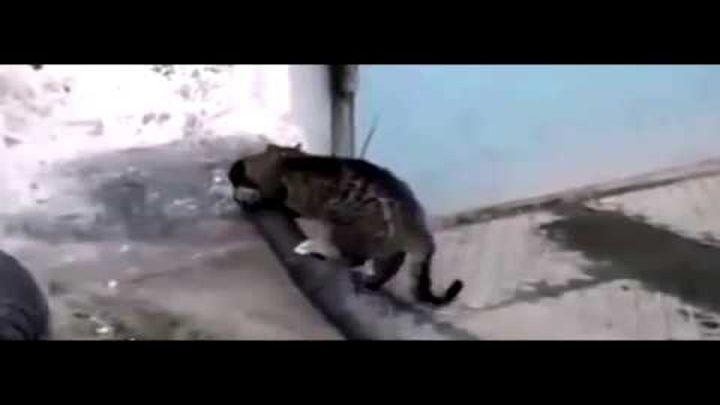 Кот-вездеход