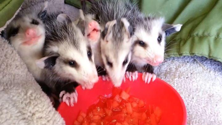 Эти очаровательные детеныши опоссума, которые лакомятся арбузом, подарят тебе отличное настроение и заставят улыбнуться!