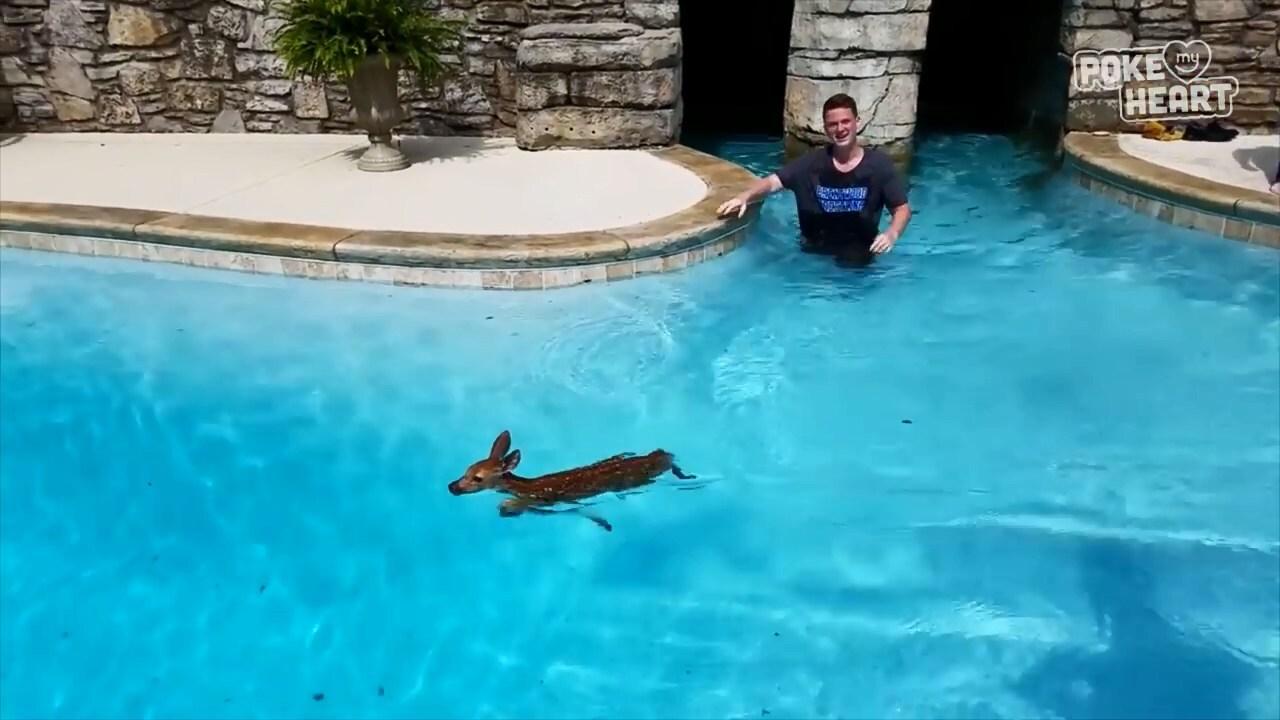 Спасение олененка из бассейна