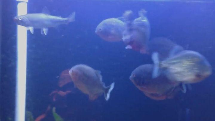 Пираньи в аквариуме заживо съедают форель