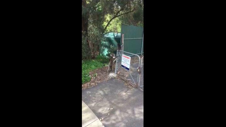 Мама-коала помогла своему детёнышу перелезть через забор