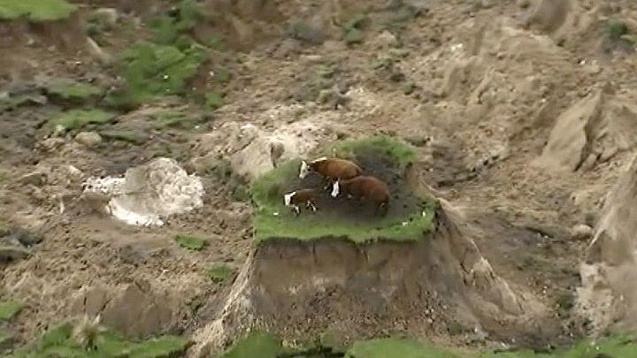 Три коровы чудом спаслись от землетрясения в Новой Зеландии