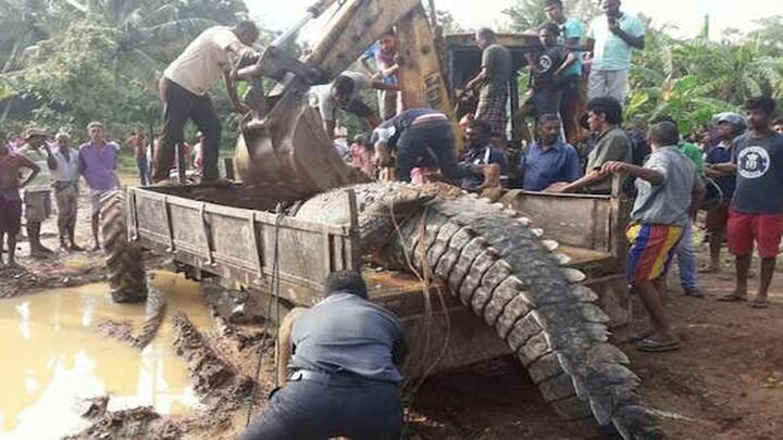 Гена, живи! В Шри-Ланке защитники животных спасли огромного однотонного крокодила