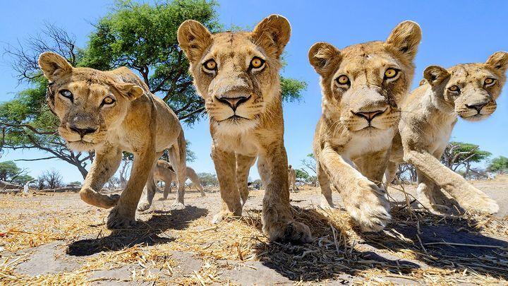 Кошки - они и в Африке кошки! Так близко львов еще не снимали
