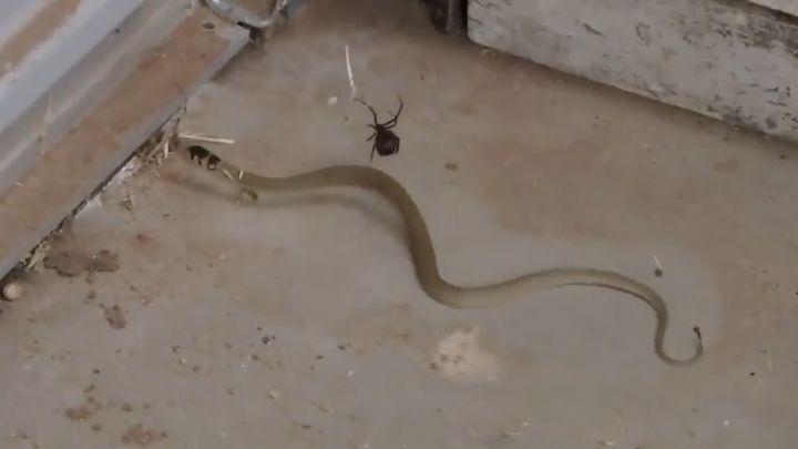 Паук поймал в свою паутину змею