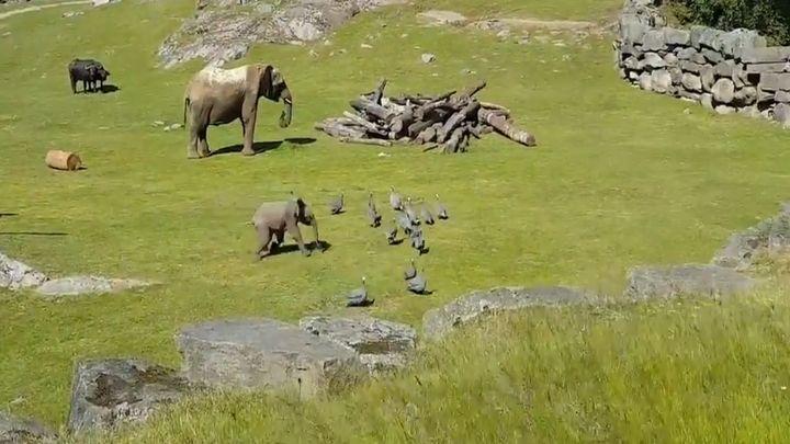 Когда в душе ты лев! Неуклюжий слоненок устроил погоню за птицами